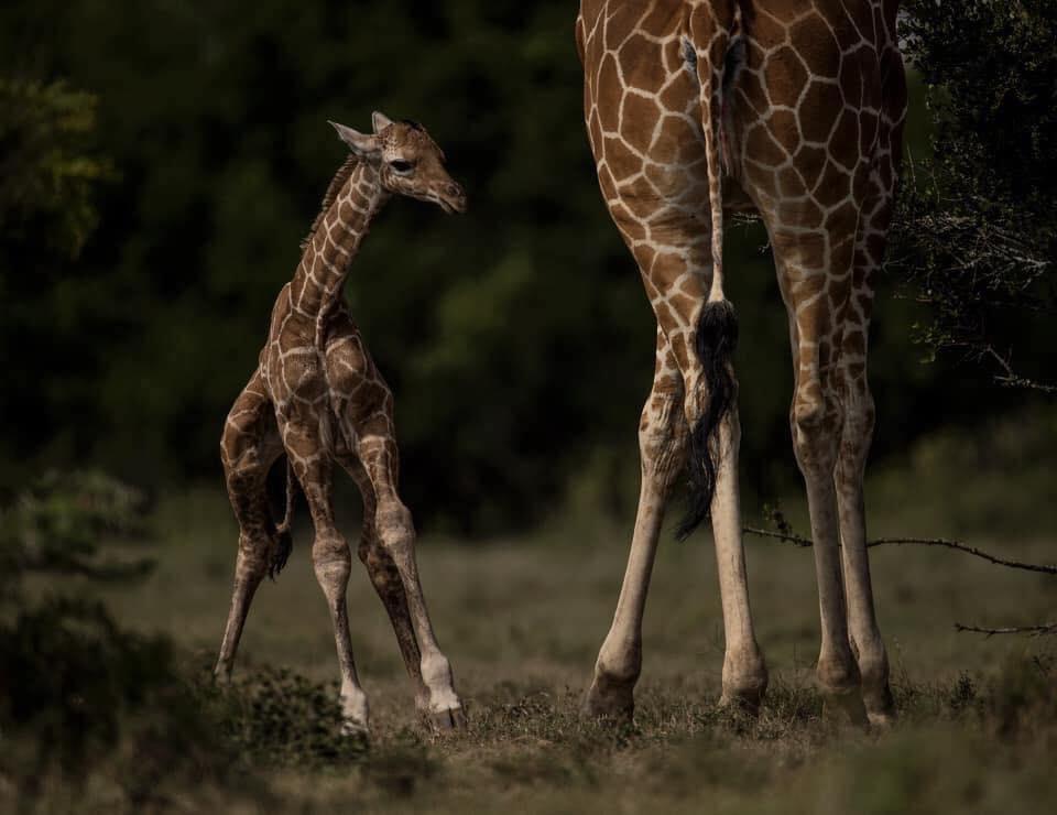 nacimiento de una jirafa